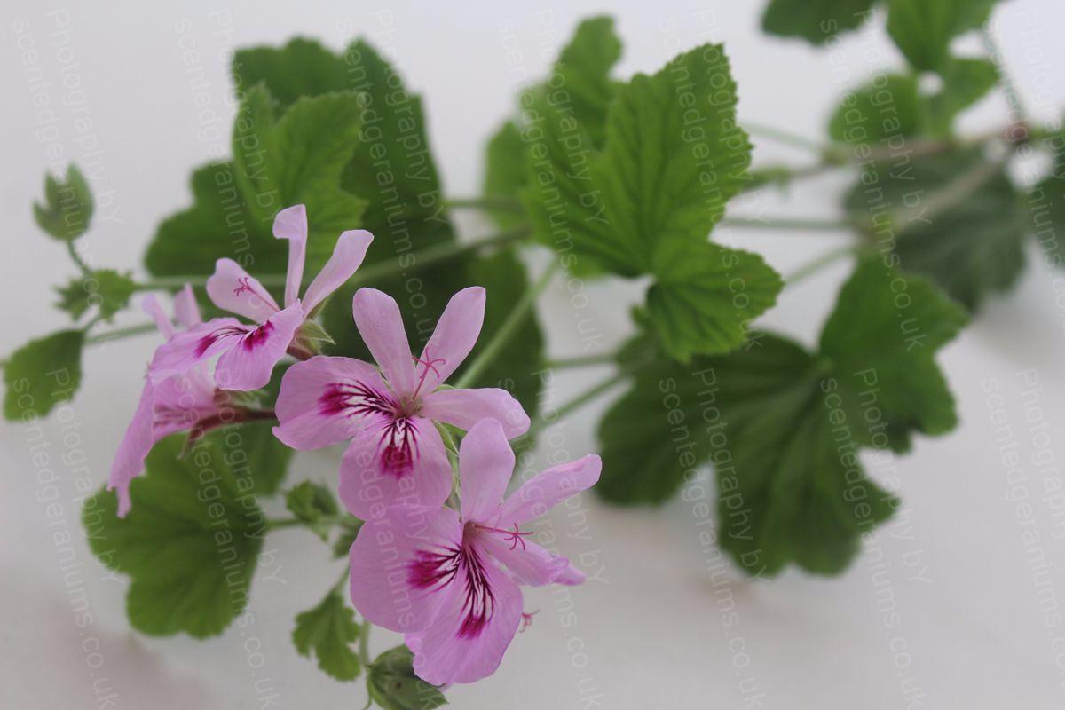 Pelargonium lara nomad scented geranium