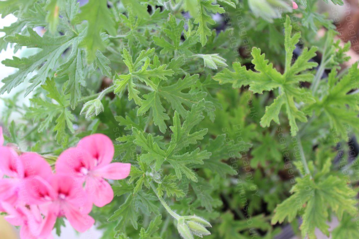 Pelargonium lara starshine scented geranium