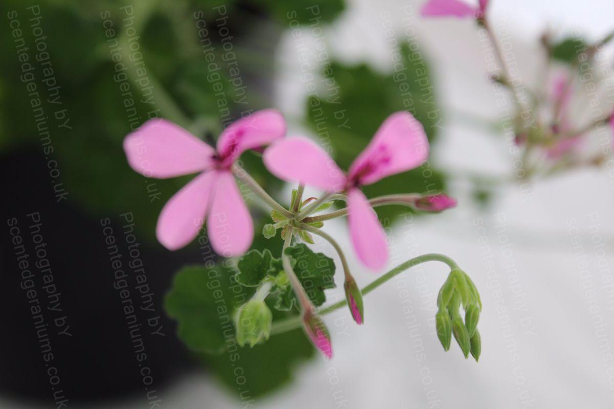 Pelargonium lavender lindy scented geranium