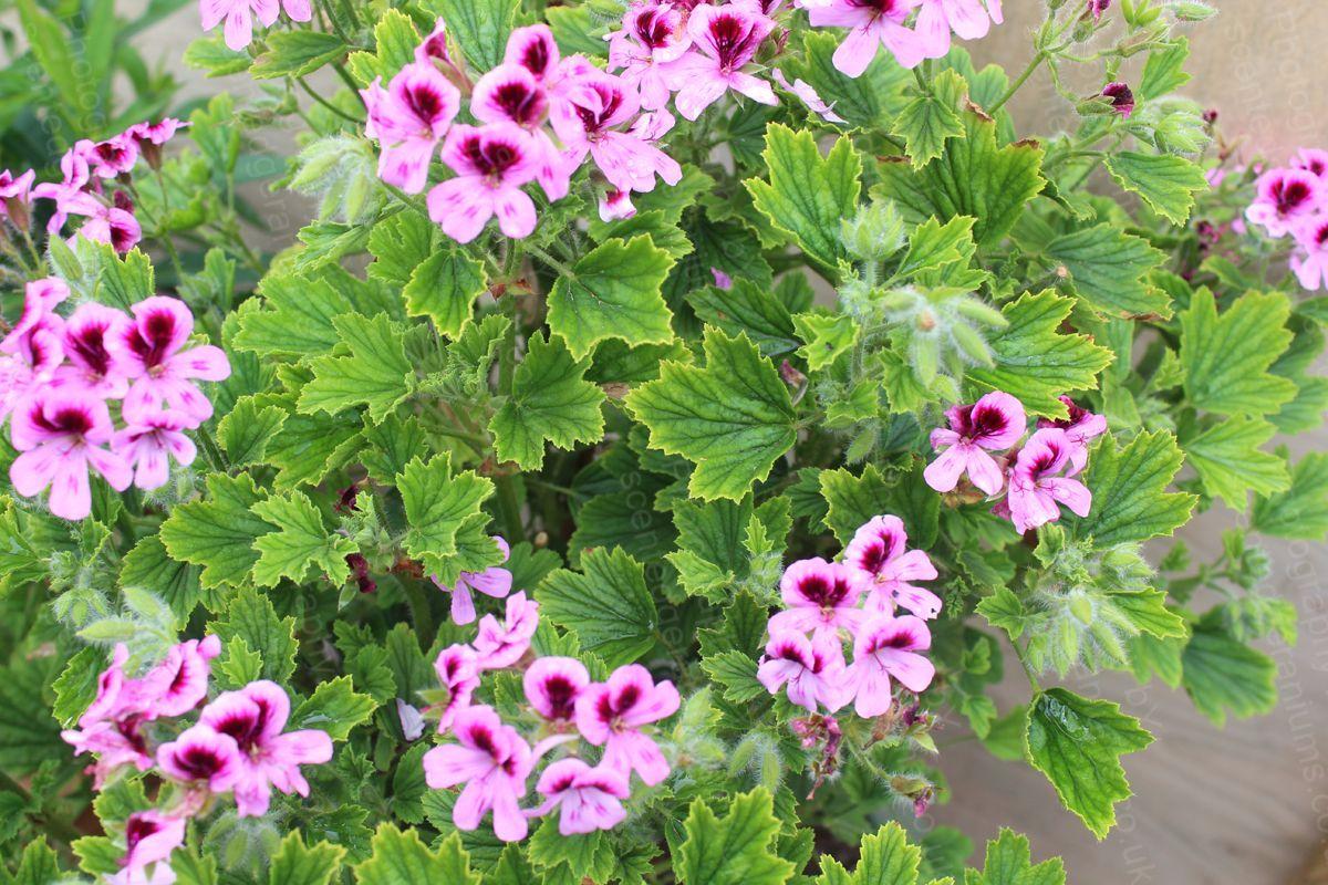 Pelargonium lemon fizz scented geranium