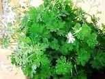 Pelargonium lilian pottinger scented geranium