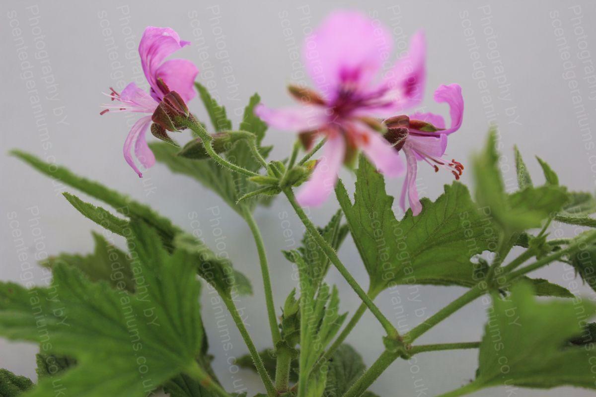 Pelargonium mabel grey scented geranium