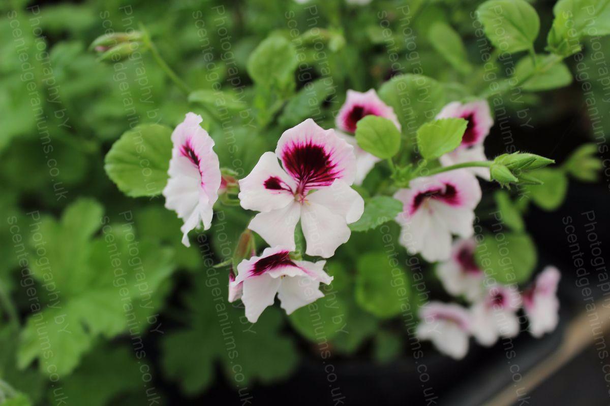Pelargonium mosquitaway scented geranium