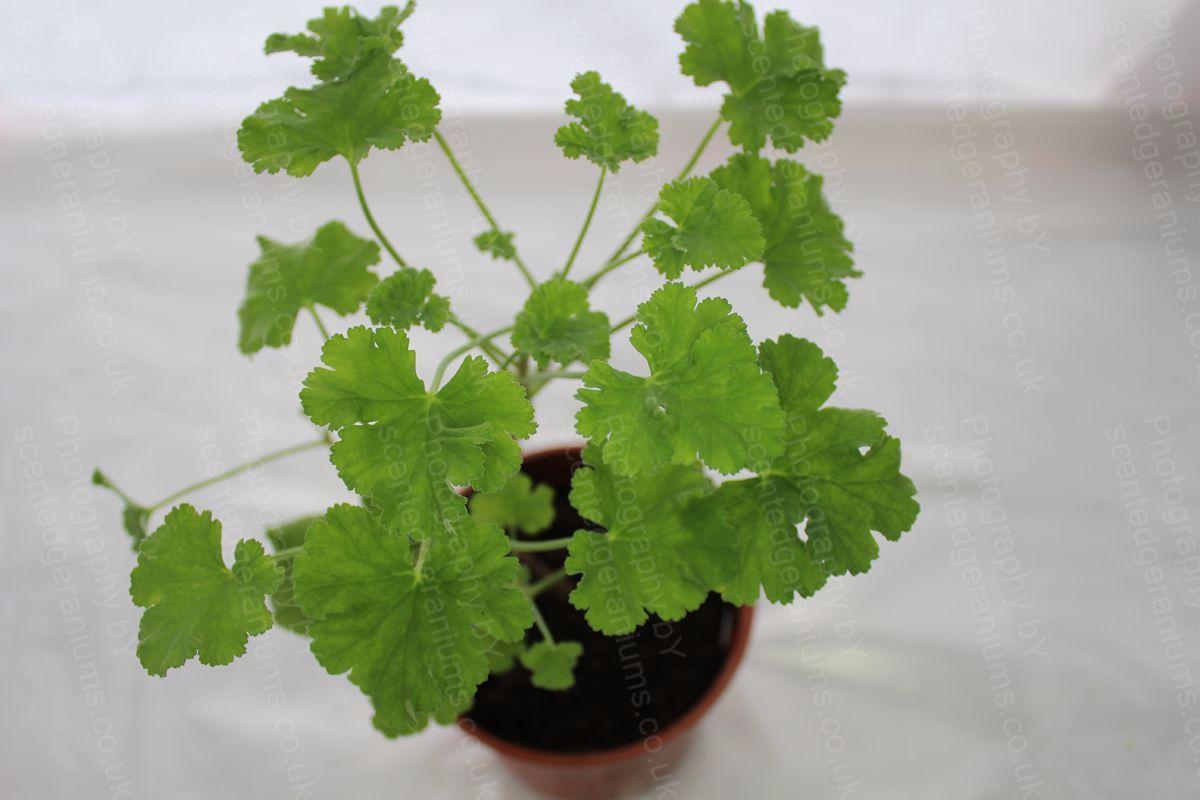 Pelargonium old spice scented geranium