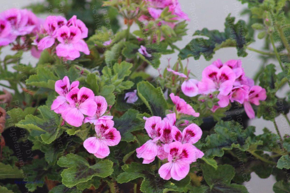Pelargonium orsett scented geranium