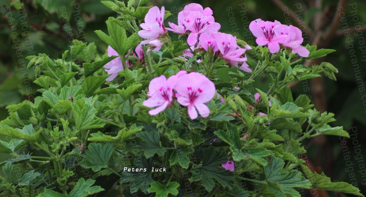Pelargonium peters luck scented geranium