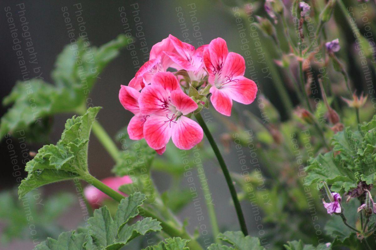 Pelargonium patons unique scented geranium