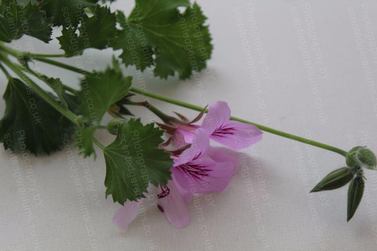 Pelargonium poquita scented geranium