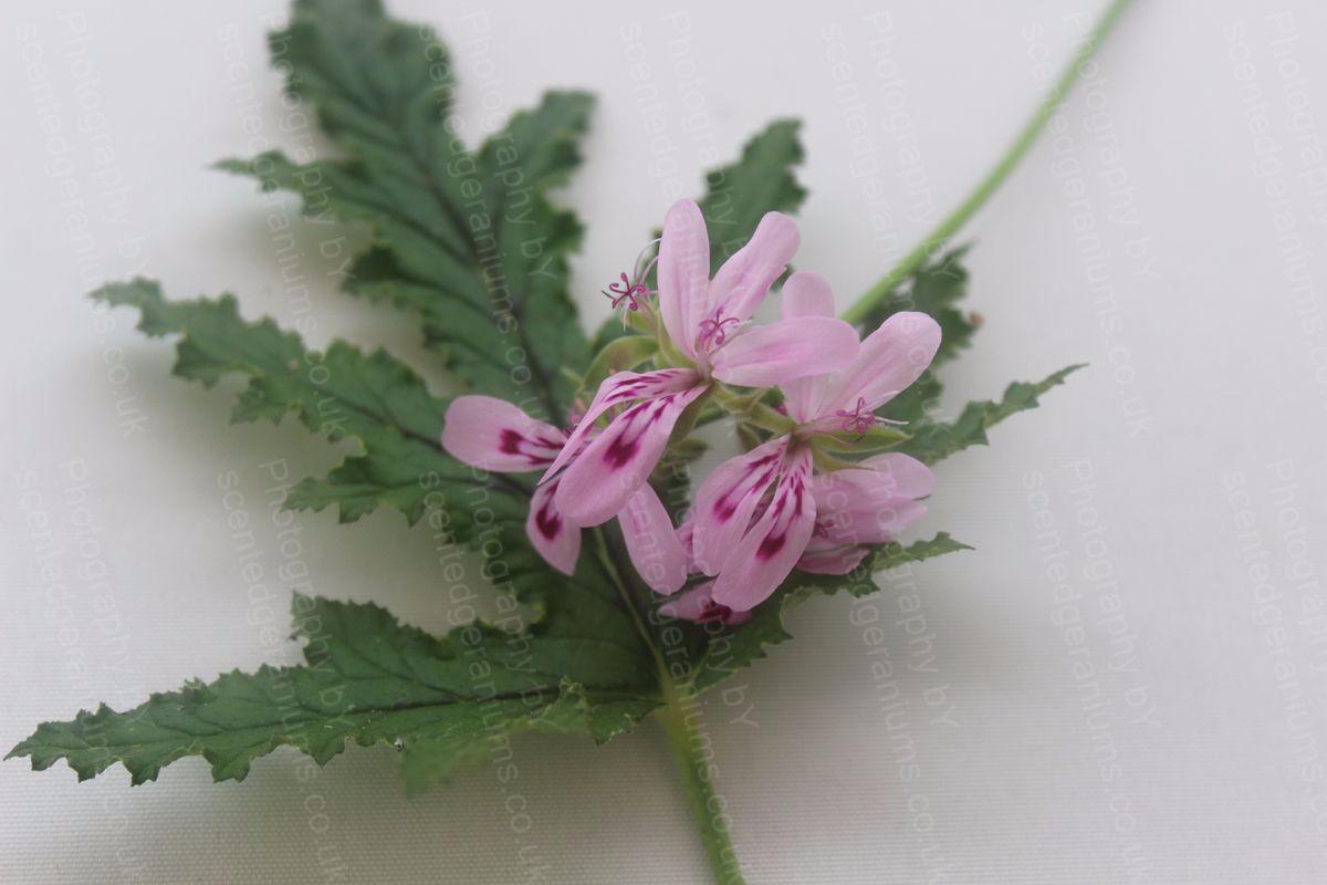 Pelargonium quercifolium scented geranium species