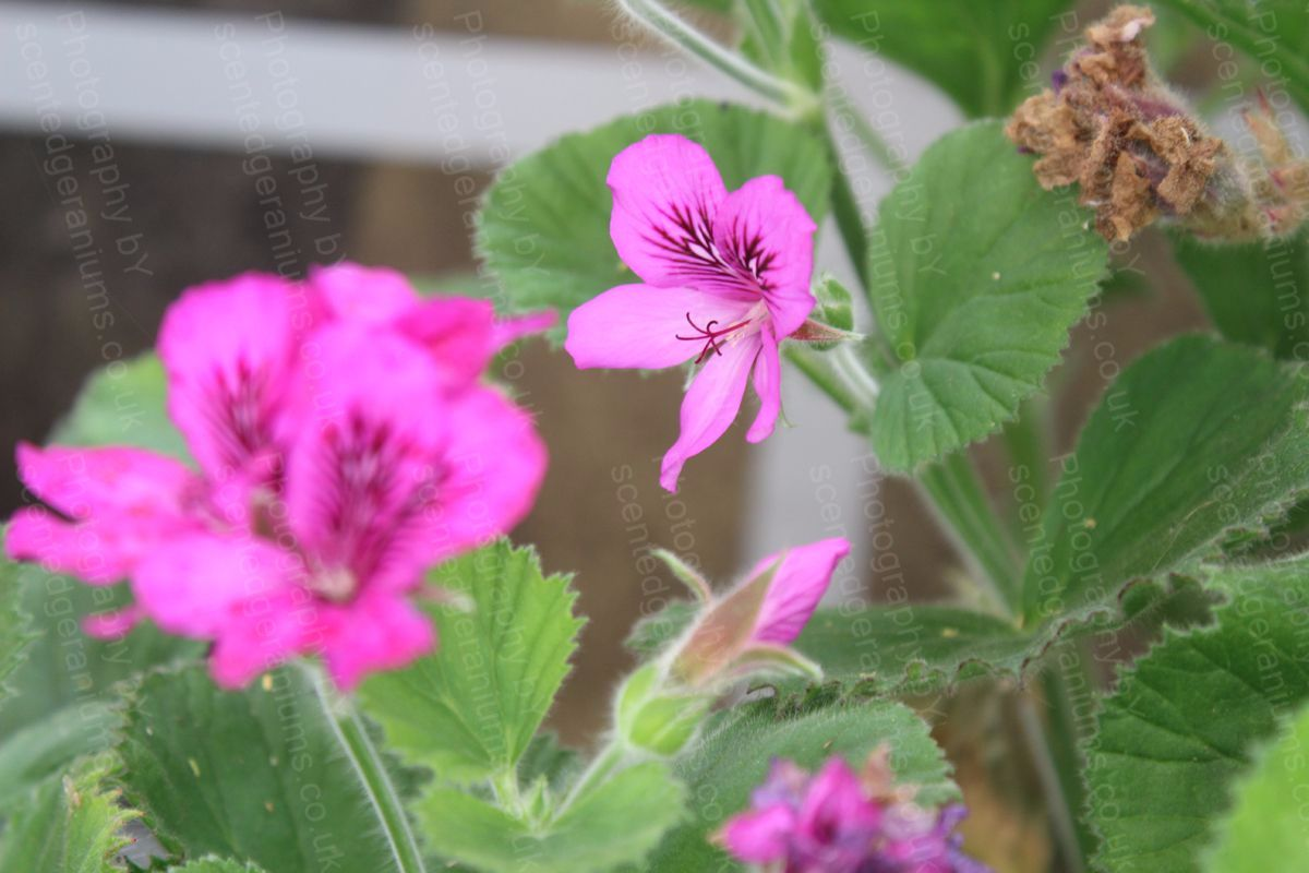 Pelargonium scilly mauve scented geranium species
