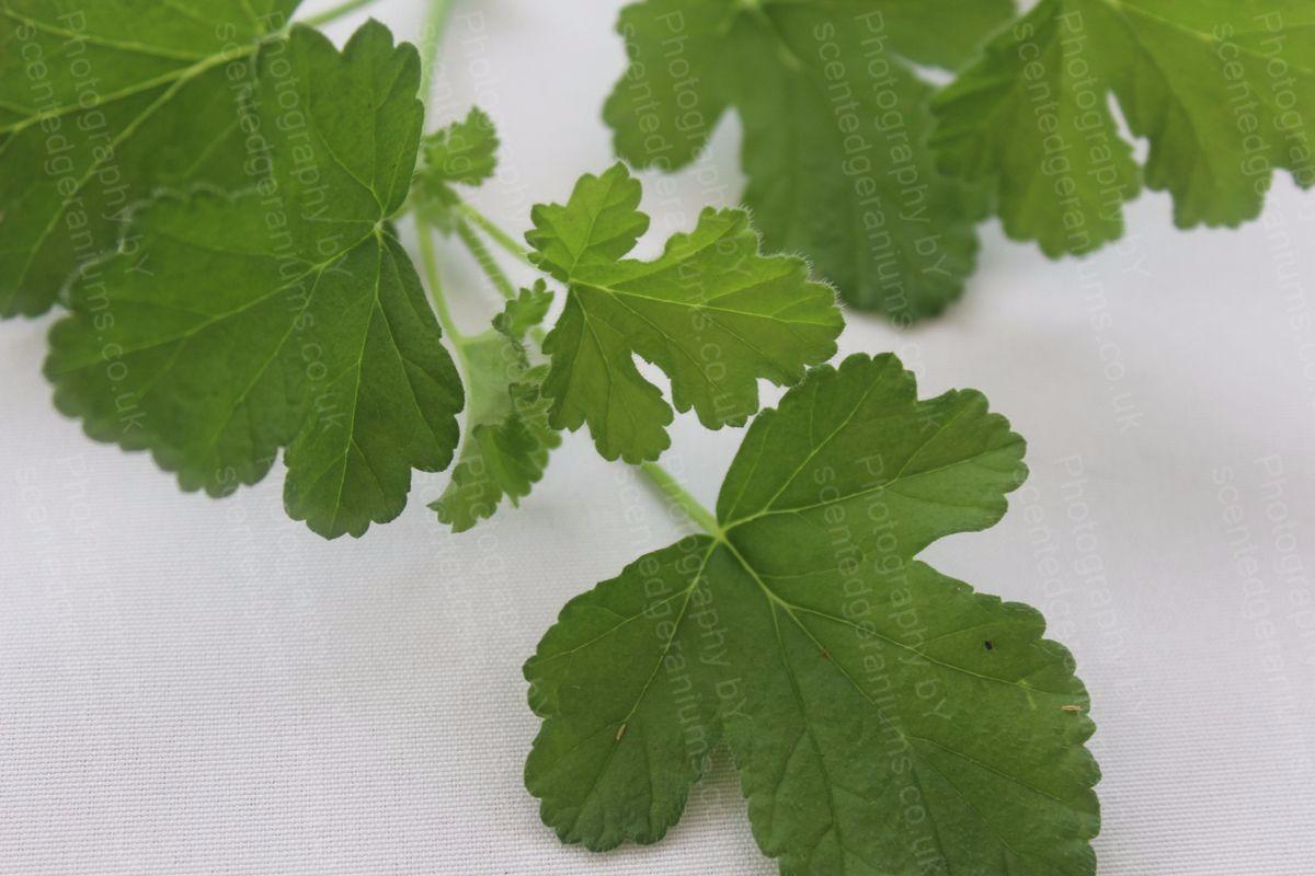 Pelargonium sweet miriam scented geranium