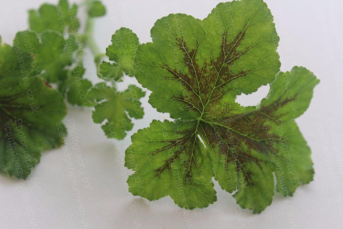 Pelargonium tomentosum chocolate mint scented geranium