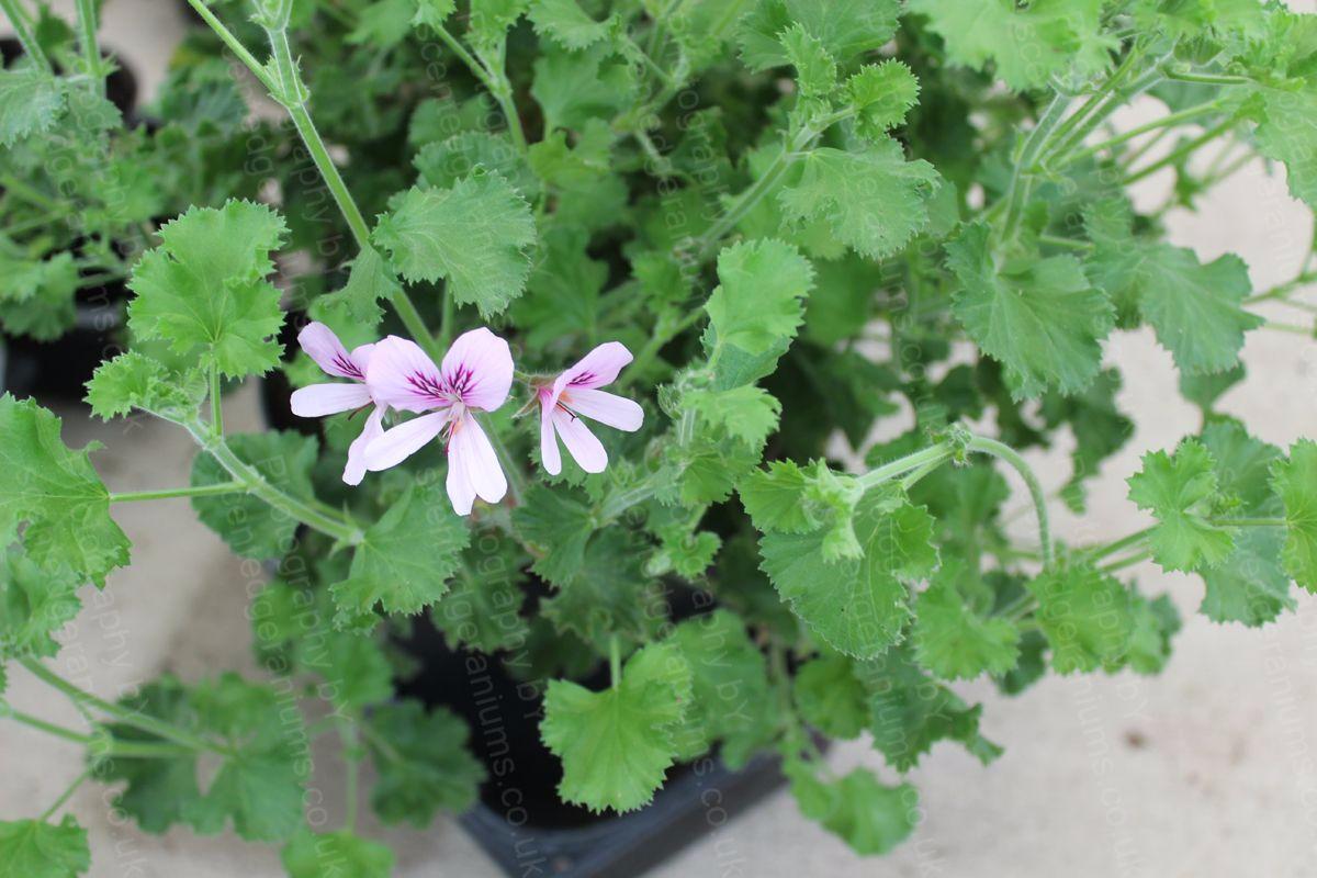 Pelargonium torento scented geranium