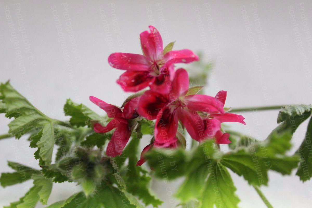 Pelargonium vandersea scented geranium