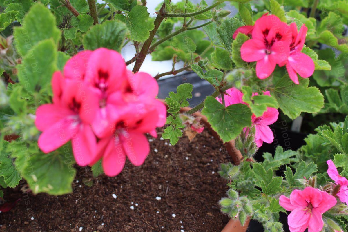 Pelargonium welling scented geranium