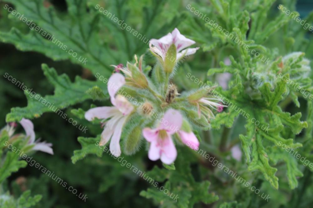 <!-- 450 -->fern mint  mint scented pelargonium