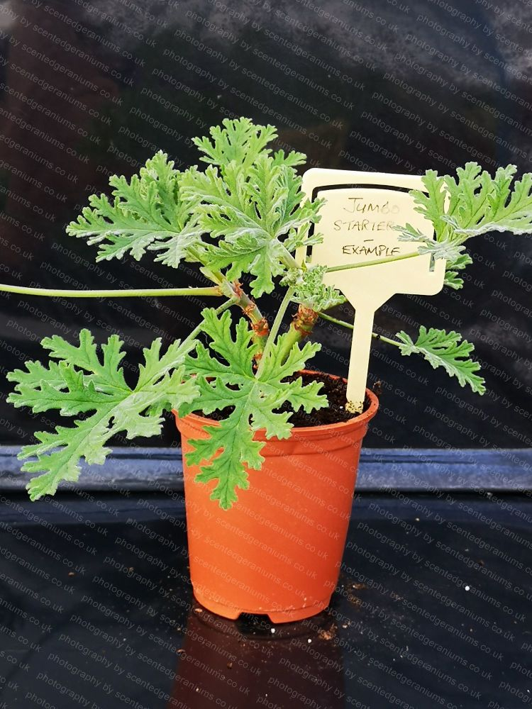 <!-- 947 -->southernwood scented leaf pelargonium large growing