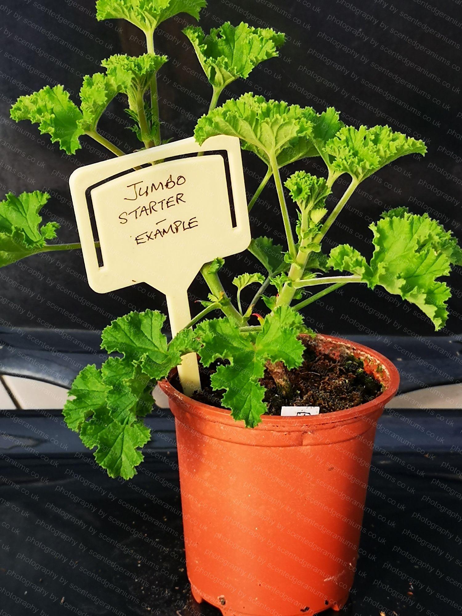 pelargonium birdbush bobby