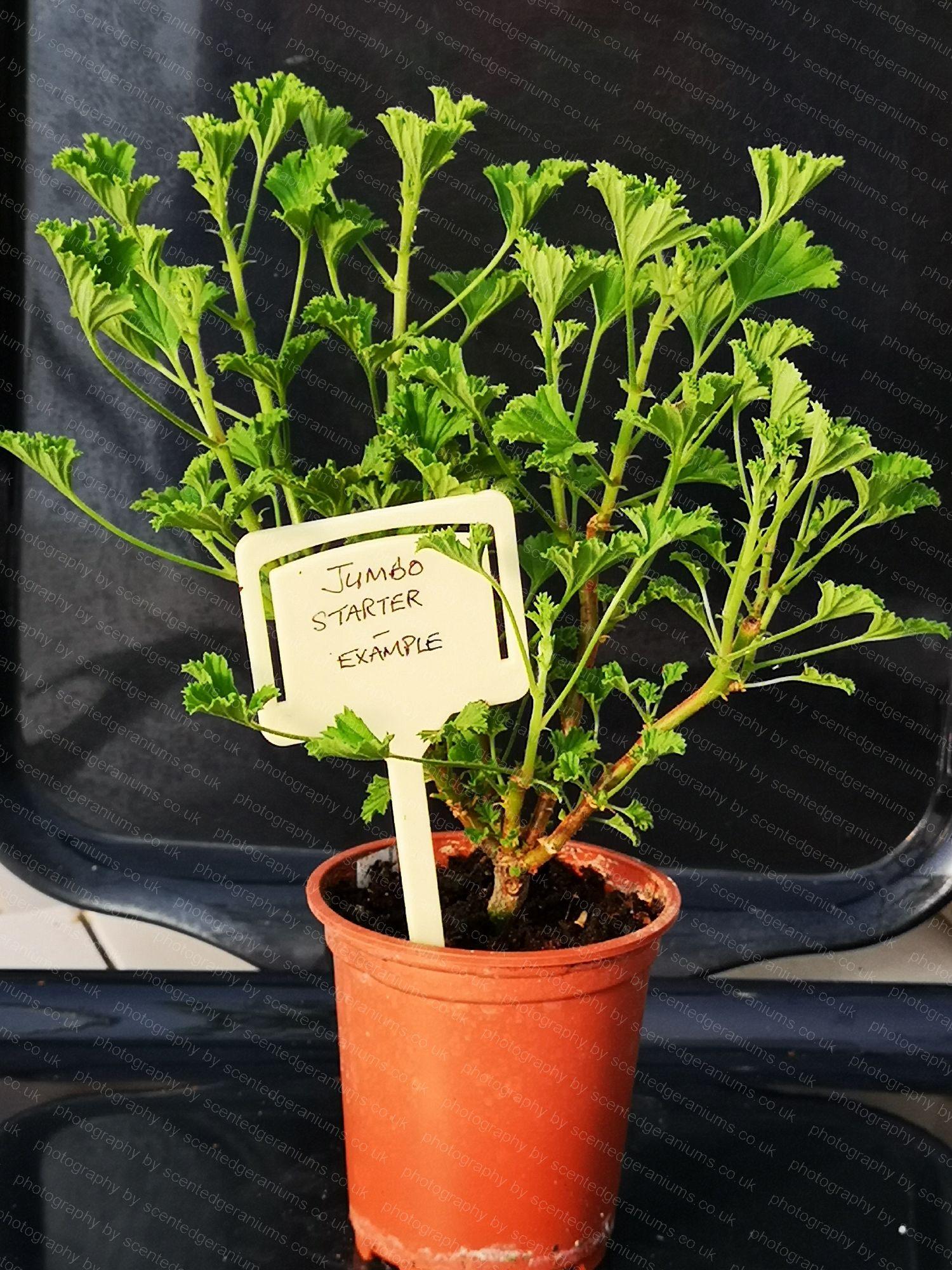 scented pelargonium birdbush bold and beautiful