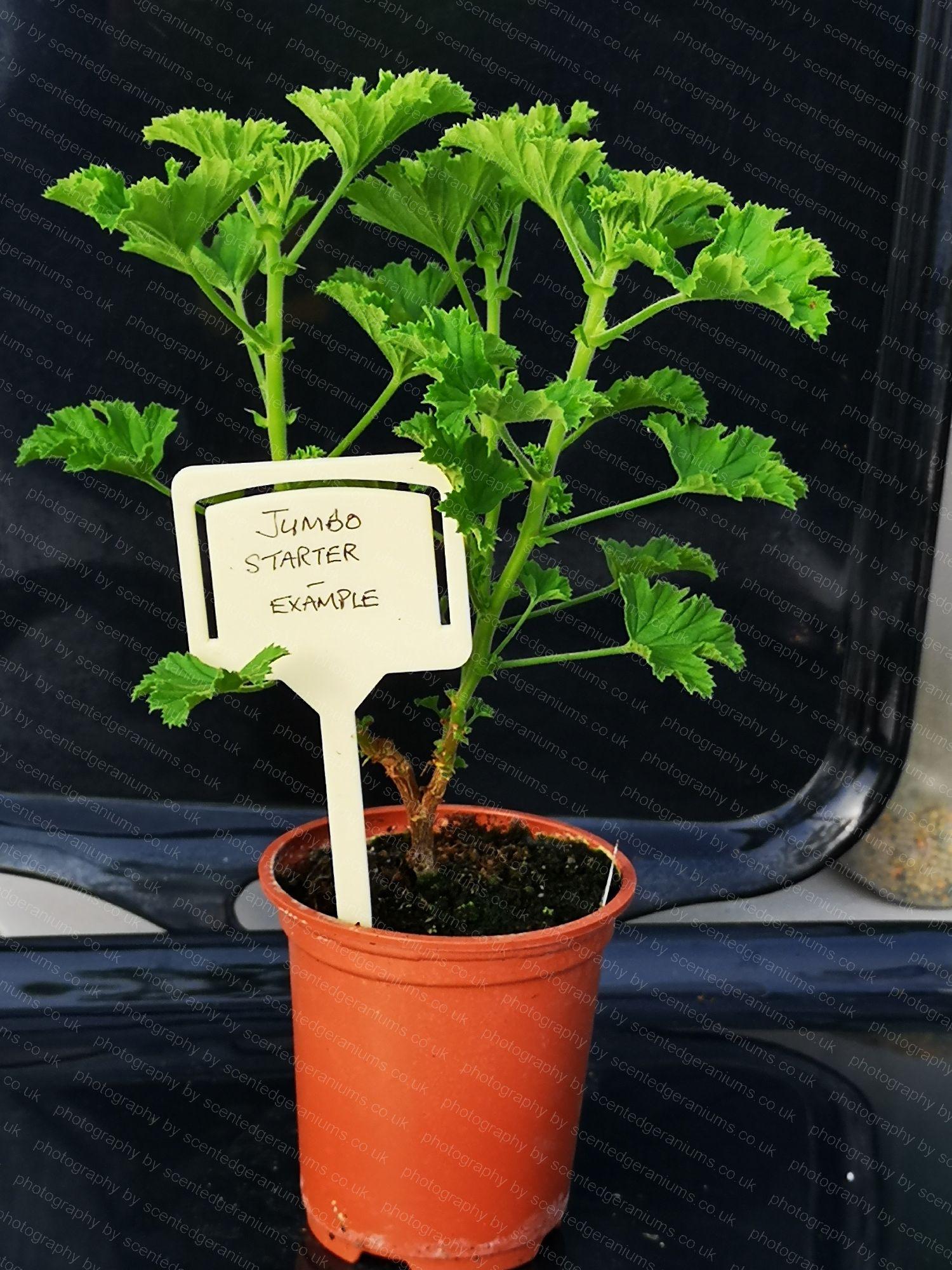 scented pelargonium birdbush julie anne