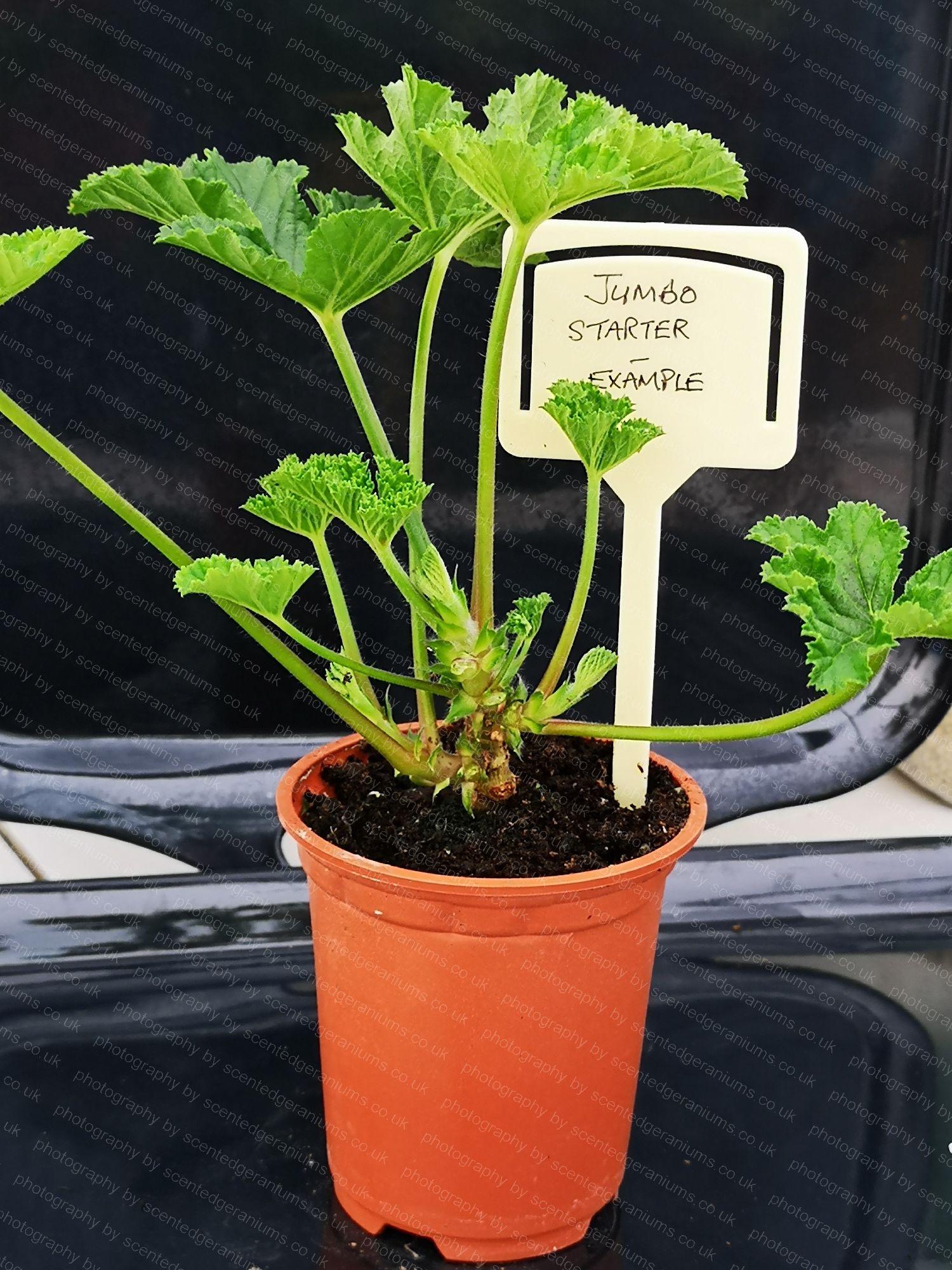 scented pelargonium ashby