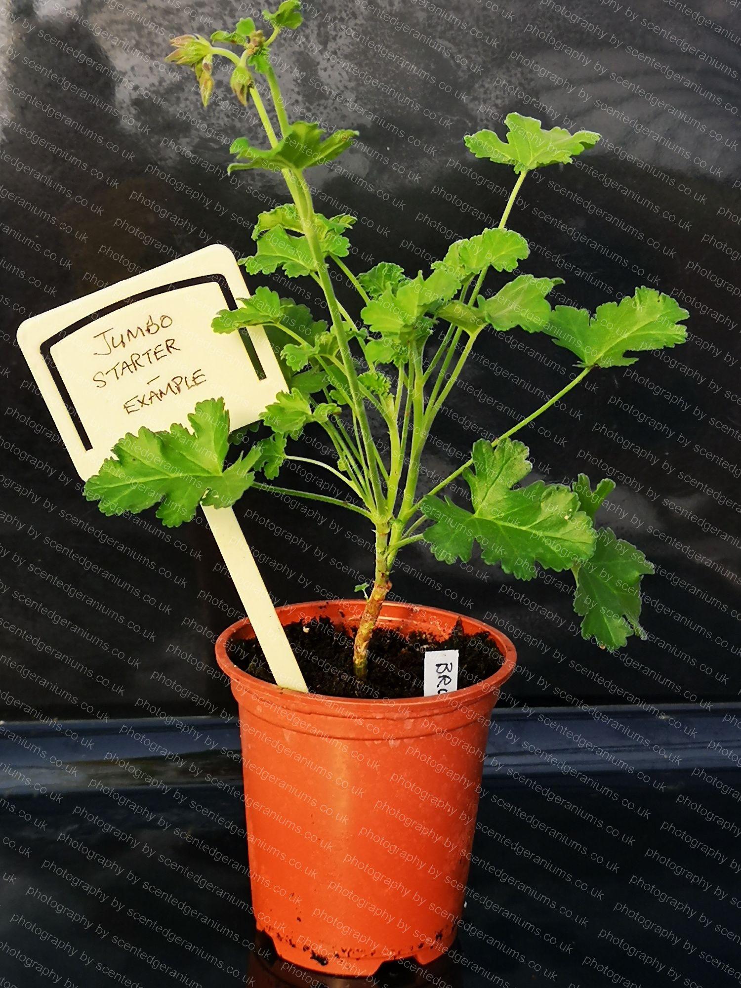 scented pelargonium brilliantine