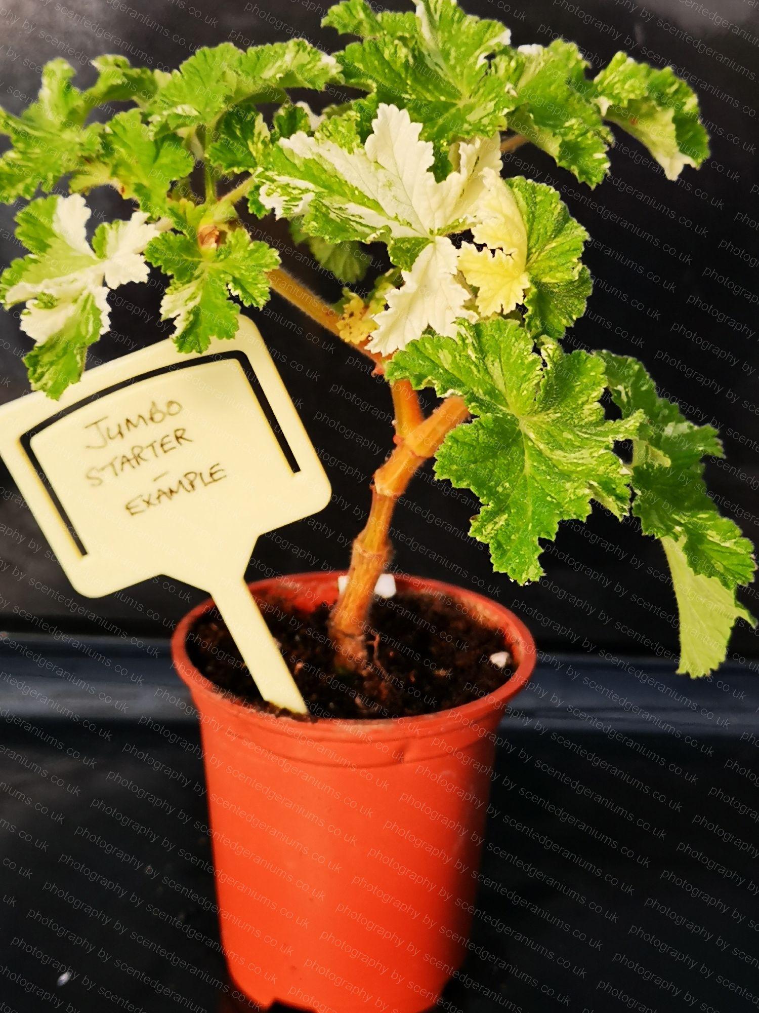 P. charmay snowflurry scentedgeraniums.co.uk
