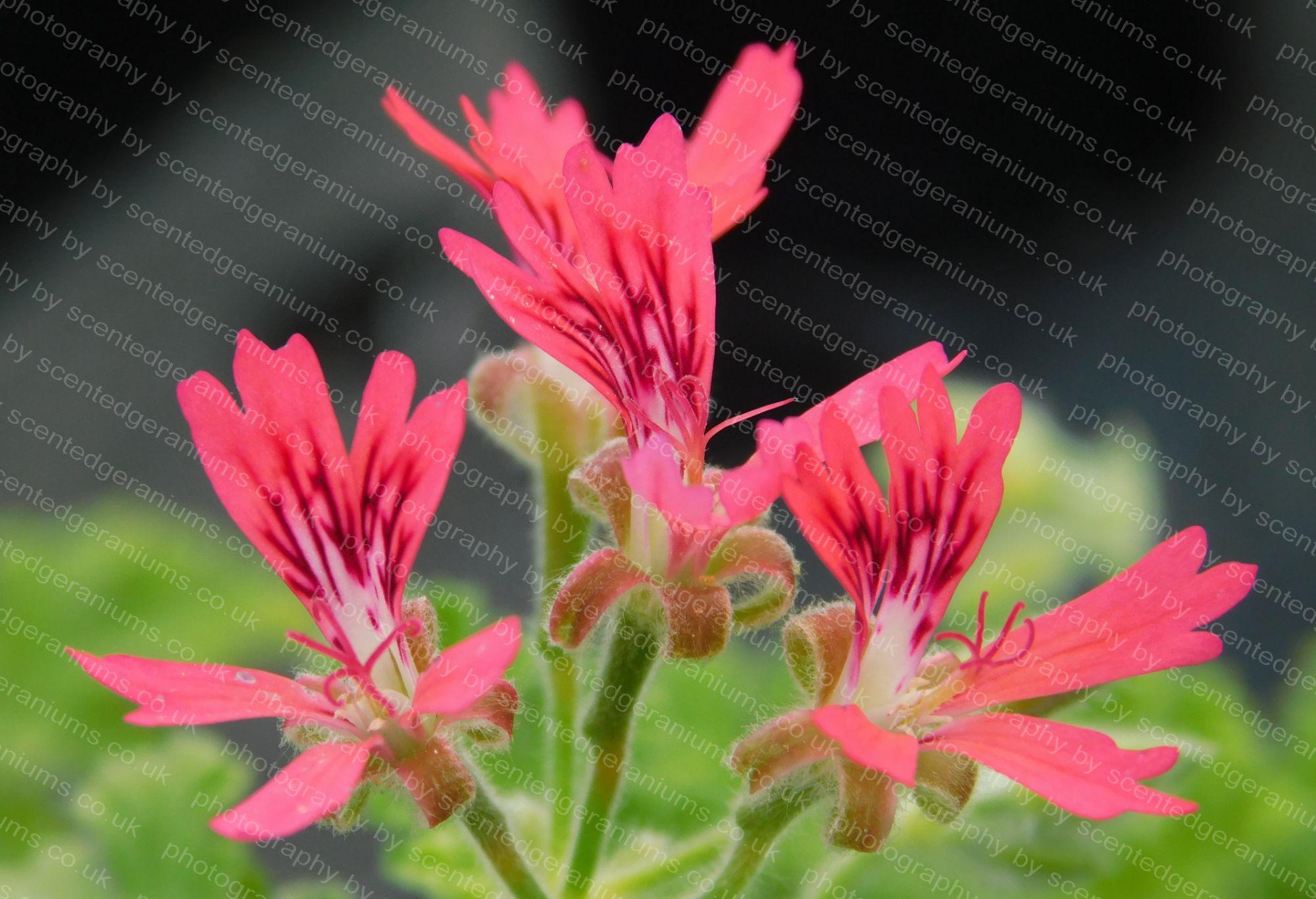 P. concolor lace scentedgeraniums.co.uk