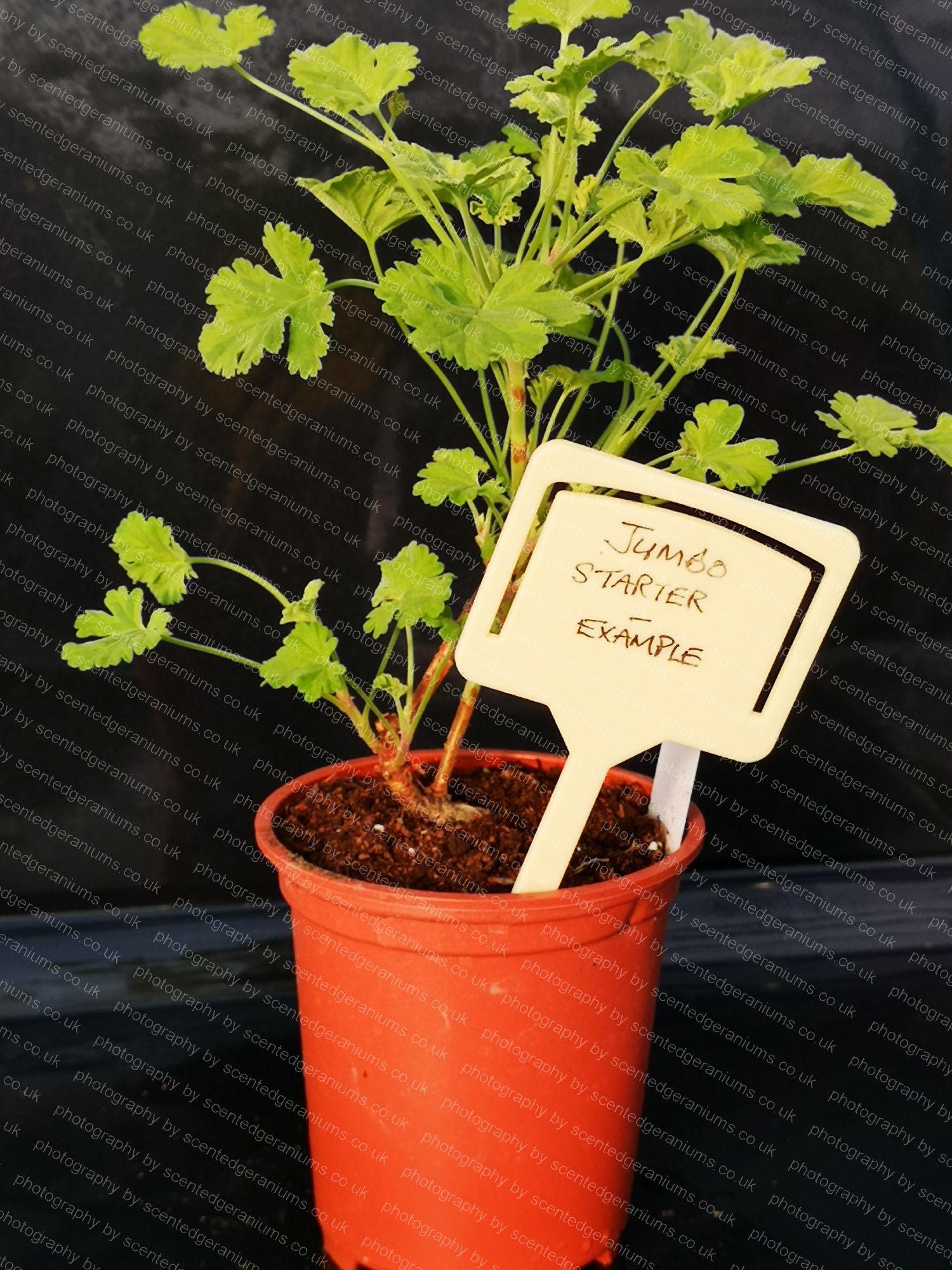 P. creamy nutmeg scentedgeraniums.co.uk