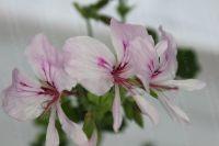 <!-- 090b -->birdbush bobby scented leaf pelargonium