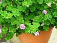 <!-- 240b -->capitatum true rose scented leaf pelargonium