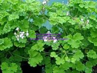 <!-- 510b -->fruity scented leaf pelargonium