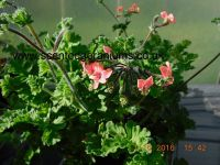 <!-- 520b -->fulgidum scented leaf pelargonium