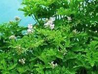 <!-- 570b -->graveolens scented leaf pelargonium