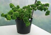 <!-- 580b -->graveolens bontrosai scented leaf pelargonium