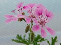 <!-- 653b --> lara jester scented leaf pelargonium