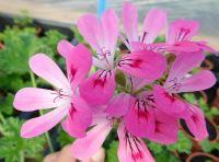 <!-- 820b -->pink capricorn scented leaf pelargonium