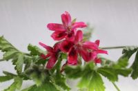 red capri scented leaf pelargonium