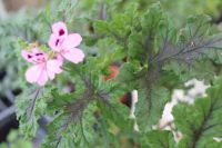 royal oak scented leaf pelargonium