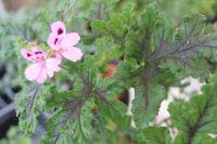 <!-- 920b -->royal oak scented leaf pelargonium