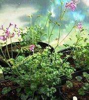 <!-- 947b -->southernwood scented leaf pelargonium compact growing