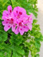 <!-- 948b -->souvenir de prue scented leaf pelargonium