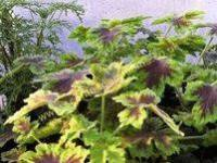 <!-- 960b -->tomentosum chocolate mint scented leaf pelargonium