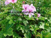<!-- 815b -->peters luck scented leaf pelargonium