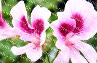 solferino scented leaf pelargonium
