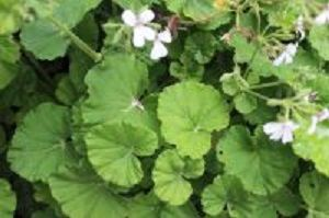 apple pelargoniums<br> scented leaves