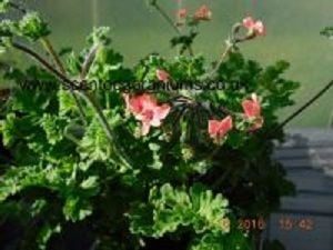 aromatic pelargoniums<br> scented leaves