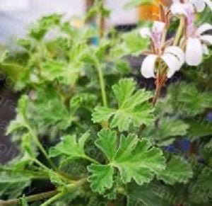 cinnamon pelargoniums<br> scented leaves