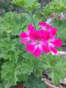 citrus pelargoniums<br> scented leaves