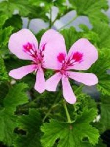 lemon pelargoniums<br> scented leaves